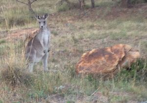 Kangaroo on Mount Majura
